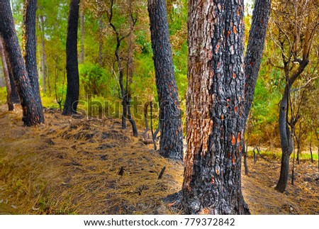 Forest fire. Burned trees after wildfire, pollution, pines burned