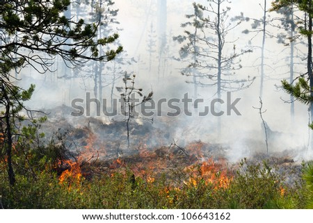 Forest fire. Young pines in a smoke and fire, Russia, Siberia - stock photo