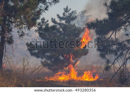 Forest fires, pine burns with a bright flame