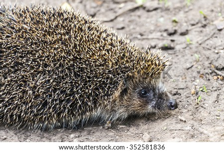 Forest hedgehog on the road - stock photo