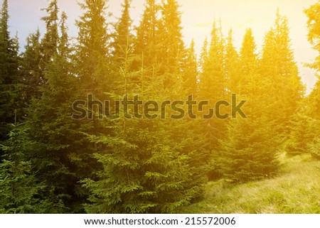 forest in a rays of evening sun - stock photo