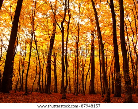 Forest in autumn. Beautiful nature background. - stock photo