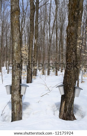 Forest in springtime during maple syrup season. Buckets for collecting maple sap. - stock photo