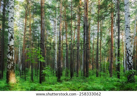 Forest landscape with birches (soft focus processing) - stock photo