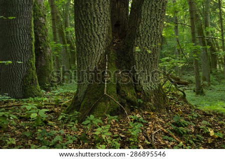 Forest landscape with old mossy triple tree