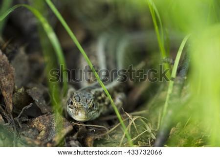Forest lizard hidden in the grass, sunlight, Macro - stock photo