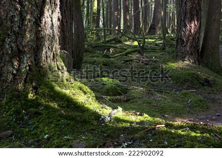 Forest - mossed floor and trees with old stump - stock photo