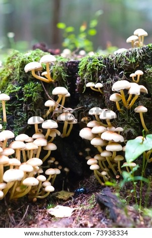 forest mushroom in moss after bir longtime rain - stock photo