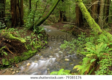 Forest of Coastal Redwoods, the tallest trees on earth, taken in Muir Woods, California - stock photo