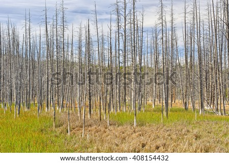 Forest of dead trees along the Grand Loop Road, Yellowstone National Park - stock photo