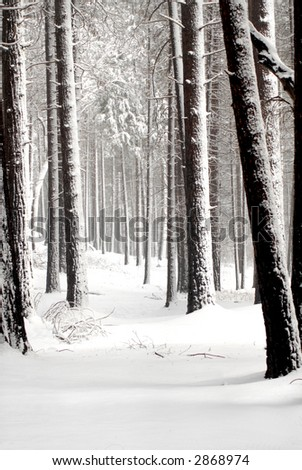 Forest of snow covered pines in Yosemite National Park - stock photo