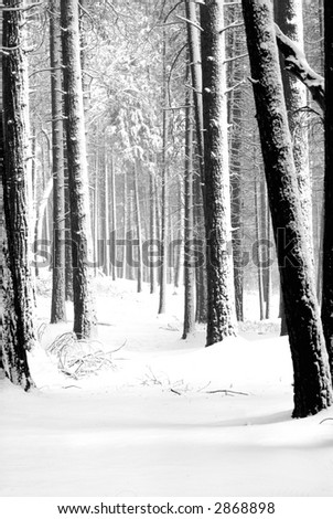 Forest of snow covered pines in Yosemite National Park in B & W - stock photo
