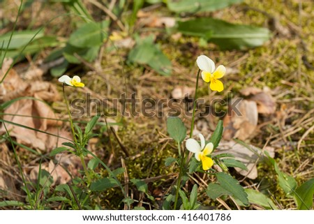 forest pansy