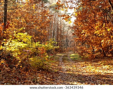 forest path during autumn among golden and yellow leaves