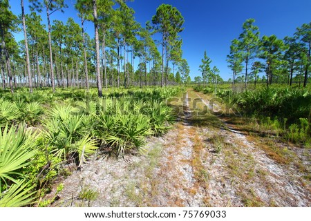 Forest Road runs through the pine flatwoods of central Florida on a sunny day. - stock photo