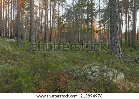 Forest scene, burn pine forest, Sweden - stock photo