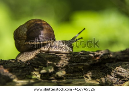 forest snail ,gliding on the branch ,(Helix pomatia) edible snail