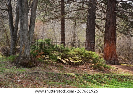 Forest trees in early spring