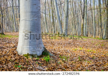 Forest trees with a close look front view at a oak tree base with clean bark on a sunny spring autumn day with leafs covering the ground and a dens perspective of the trees - stock photo