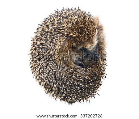 Forest wild hedgehog isolated on white background