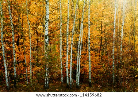 Forest with birches in the autumn. Seasonal background - stock photo