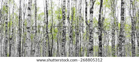 Forest with trunks of birch trees with fresh green leaves in early spring - stock photo