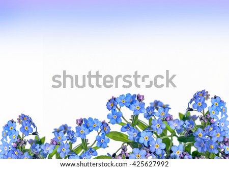 forget-me-flower on a white background. Arrangement of blue forget-me-not flowers isolated - stock photo