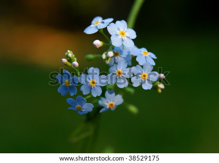 Forget-me-not Beautiful blue field flower,close-up