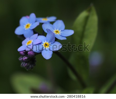 Forget-me-not flower in garden background - stock photo