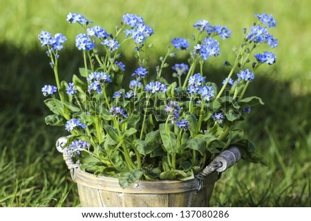 Forget me not flower in grey wooden pot on fresh green grass in the garden - stock photo