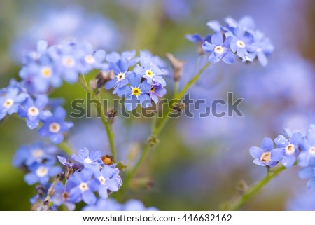 Forget me not flowers after the rain with water drops, natural floral background with small depth of field - stock photo