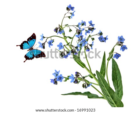 Forget-me-not flowers and blue butterfly isolated on white - stock photo