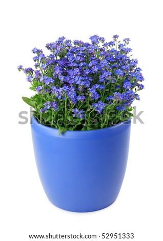 Forget-me-not flowers in pot isolated on white background - stock photo
