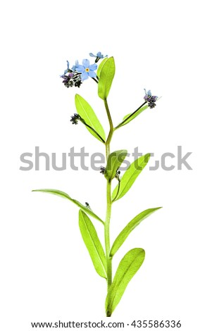 Forget-me-not Flowers Isolated on White Background - stock photo