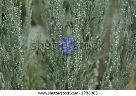 Forget-me-not in the SageBrush - stock photo