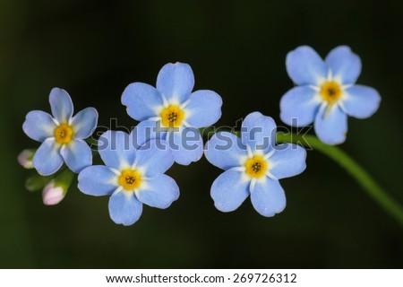 Forget-me-not, Myosotis, flowers - stock photo