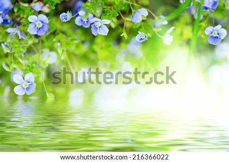 Forget-me-not tender  flowers blossoming in spring time with water reflection, natural floral background - stock photo