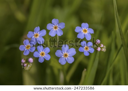Forget-me-not with seven blue flowers on a dark green background for greeting card etc. Scientific name of this forget-me-not: Myosotis scorpioides (syn. Myosotis palustris). - stock photo