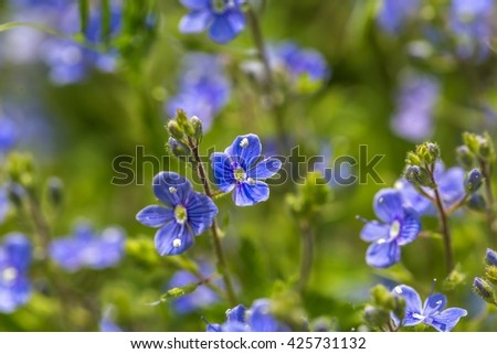 Forget me nots flowers in close up. Nature background with blue flowers - stock photo