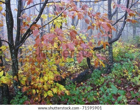 Forks of Cranberry Trail, Fall Color, Highland Scenic Highway, Route 150, National Scenic Byway, Cranberry Wilderness, Pocahontas County, West Virginia, USA - stock photo