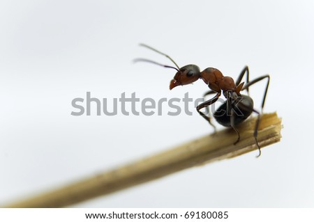 Formica rufa brave little soldier ants at the police station - stock photo