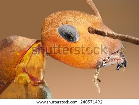 Formica rufa extreme macro of ant - stock photo