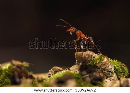 Formica rufa. Portrait of an ant in the wild. Wood, bark, moss. macro