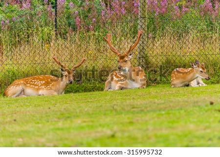 Formosan sika deer in West Midlands Safari Park, England, UK. - stock photo