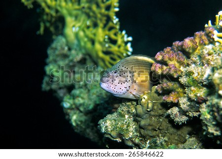 Forster´s Hawkfish, Red Sea, Egypt - stock photo