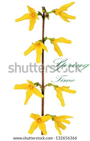 Forsythia flowers on white background. Isolated. - stock photo
