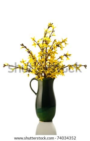 Forsythia flowers photo on the white background - stock photo