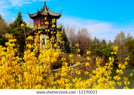 Forsythia flowers with Chinese style arbour in the background - stock photo