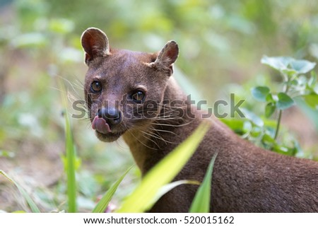 Fossa (Cryptoprocta ferox), cat-like, carnivorous mammal endemic to Madagascar,  Fossa diet includes lemurs. Andasibe, Vakona Private Reserve. Madagascar wildlife.
