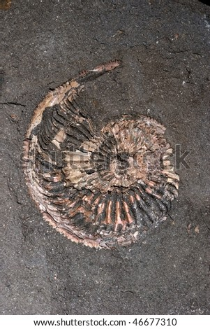 Fossil of ammonite - stock photo